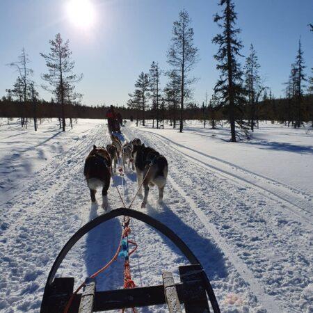 Dog Sledding Lapland