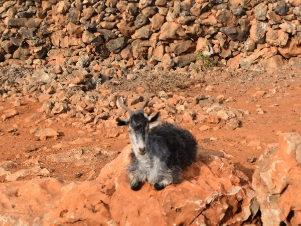 Socotra Goat, things you need to know before you visit Socotra