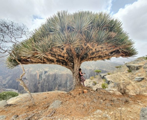 Stranded on Socotra - leaning against Dragon Blood Tree